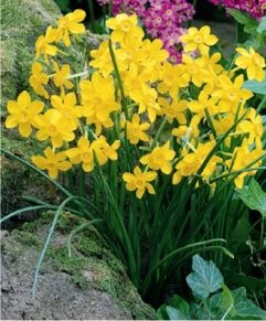 Narcissus Baby Moon    A free-flowering, pale canary-yellow miniature, Baby Moon is great for rockgardens! One of the very latest narcissi to flower.: Babies, Garden Ideas, Baby Moon, Gardening, Canary Yellow Miniature, Pixie Gardens, Narcissus Baby