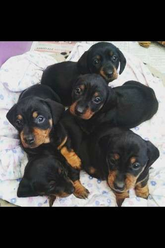 MINIATURE DACHSHUND PUPPIES. Vaccinated, m'chipped, wormed. Come with puppy pack and small supply of current diet. Raised in our family home with children. Ready to go to their forever homes after 23 July at 8 weeks - https://www.pups4sale.com.au/dog-breed/413/Dachshund.html