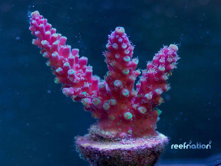 Acropora RN Purple Rain Acropora-Coral Frag SPS Monti LPS Zoa