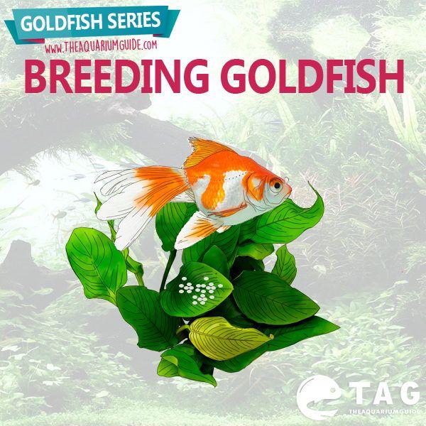 Goldfish Series - Breeding Goldfish.