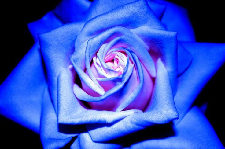 rosa blu gif