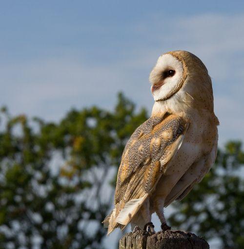 Barn Owl - Tornuggla (tyto alba)