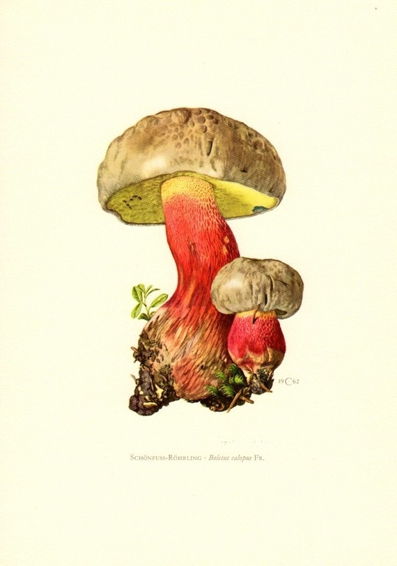 bitter beech bolete or scarlet-stemmed bolete mushroom, boletus calopus, vintage original lithograph, 1962