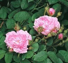 rosa salet muscosa