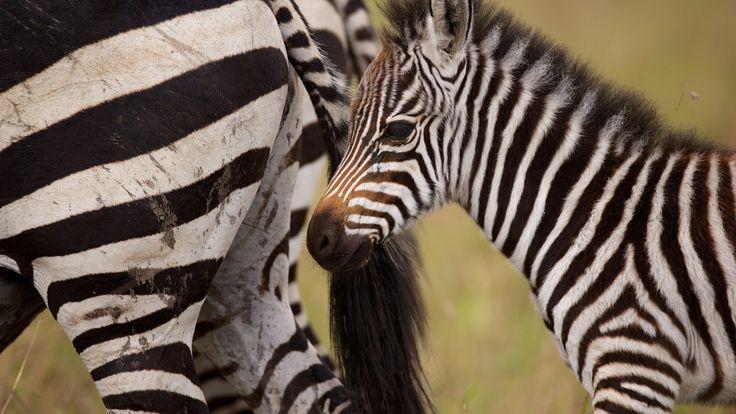 Скачать обои зебры, жеребёнок, детёныш, раздел в разрешении 1600x900