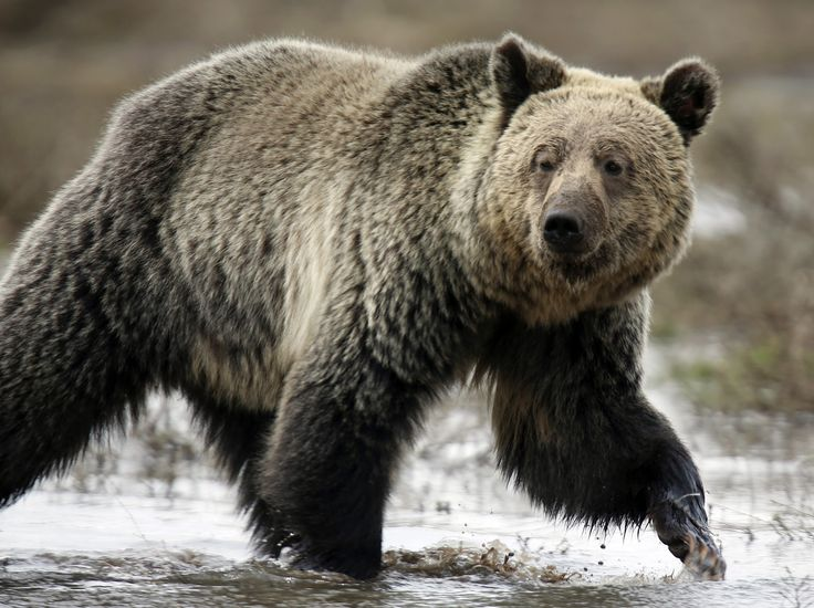 Donald Trump makes it legal to shoot hibernating bears -    Hunters in Alaska can now shoot hibernating bears and use aircraft to track their targets, after the Trump administration repealed Obama-era  wildl... See more at https://www.icetrend.com/donald-trump-makes-it-legal-to-shoot-hibernating-bears/