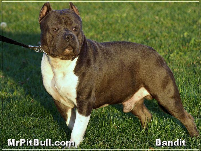 pitbull dogs   Blue-Pitbull-Puppy.JPG - BLUE PITBULL PUPPY   PITBULL BREEDERS IN ...