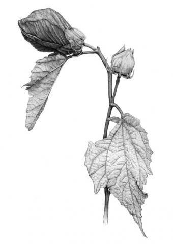 14 best hibiscus images on pinterest botanical art botanical hibiscus moscheutos rose mallow graphite on paper melissa toberer bartrams garden exhibit ccuart Image collections