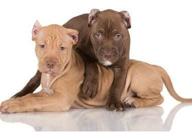 Pitbull Puppy Obedience Training Videos