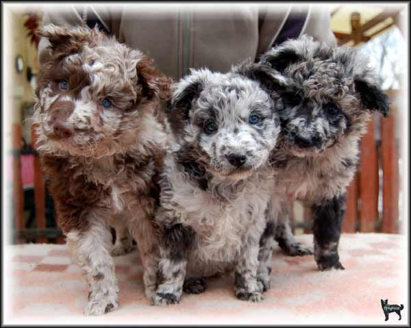 Hungarian Mudi Puppies | Dog Breeds - PUPPIES | Pinterest ...
