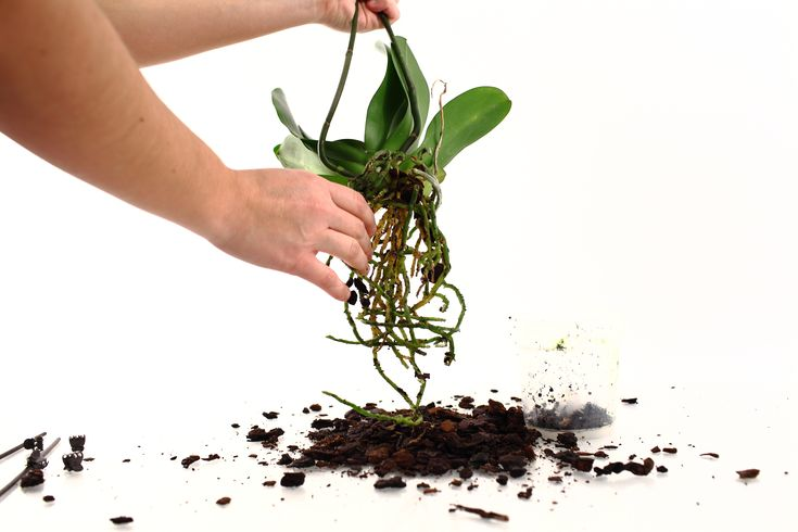 Repotting Orchids | Caring for Orchid