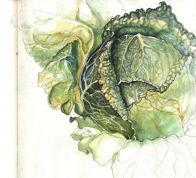 crushculdesac:    playinprogress:cabbage study 1 by Amy Holliday on Flickr.