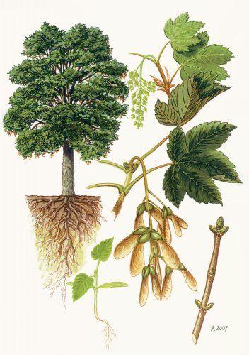 Javor klen (horský) - Tipy do lesa - Vojenské lesy a statky dětem