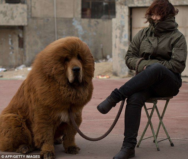 Tibetan mastiff dog is displayed for sale at a mastiff show in Baoding, Hebei province, south of Beijing. Cost 500,000 pounds. I need him in my life!!!