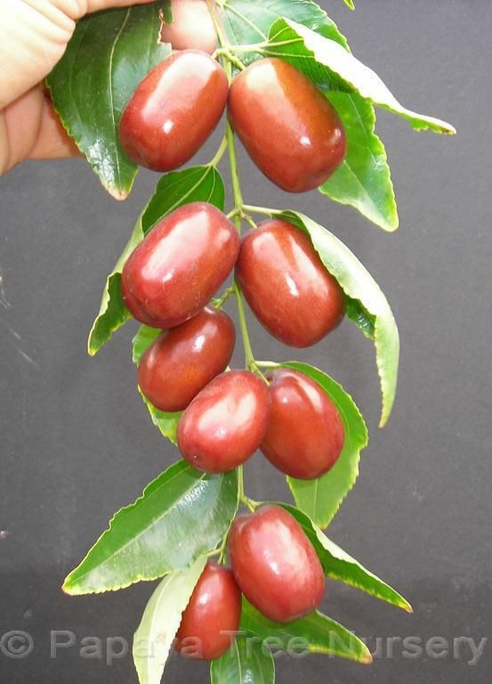 'Chang' Jujube / Chinese Date Harvest: August-October