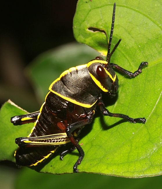 U.s. Grasshoppers 17 Best images about D...
