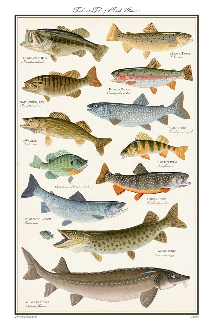 Fish of north america posters pictures to pin on pinterest for Florida freshwater fish species
