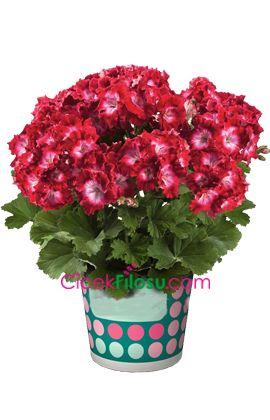 Sardunya Çiçeği Bakımı, Yetiştirilmesi, budanması, sulanması, toprak, vitamin, ışık, ve rüzgar faktörlerine karşı direnci.