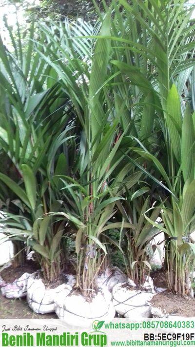 Jual bibit Palem merah kualitas unggul harga murah.kemi menjual bibit palem merah berbagai ukuran dengan harga sangat terjangkau melayani pemesanan untuk partai besar maupun partai kecil.untuk informasi harga hubungi indosat 085708640383 telkomsel 08121519338 whatsapp 085708640383 Palem Merah(Cyrtostachys renda) adalah tumbuhan asli Indonesia, merupakan tanaman tropis yang tersebar di Indonesia, Malaysia, dan Thailand. Populasi terbesar tanaman …