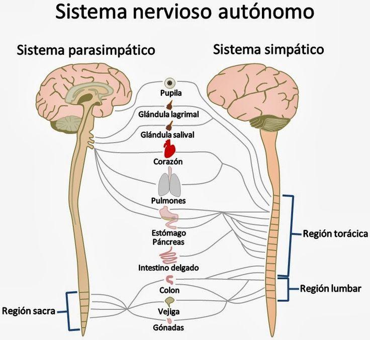 sistema nervioso periferico vertebras - Buscar con Google