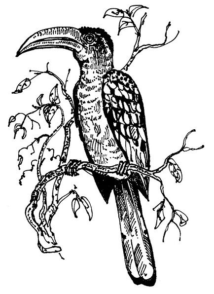 Yellow-billed Hornbill illustrated by Tony Stakes