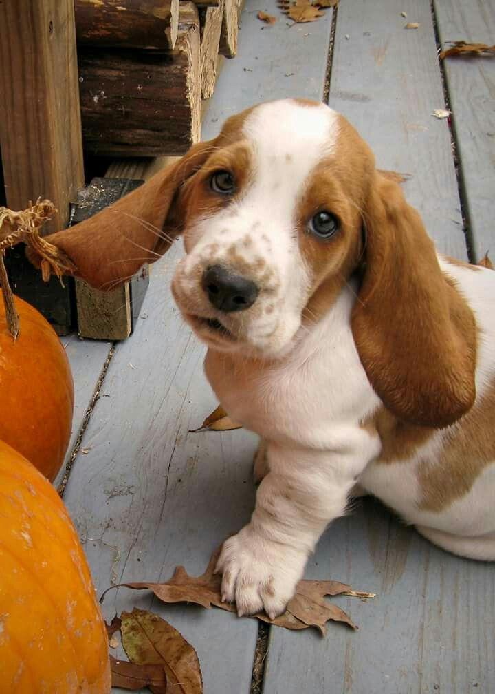 Basset Pumpkin