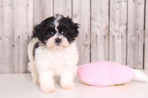 Zuchon puppy for sale in MOUNT VERNON, OH. ADN-27083 on PuppyFinder.com Gender: Female. Age: 12 Weeks Old