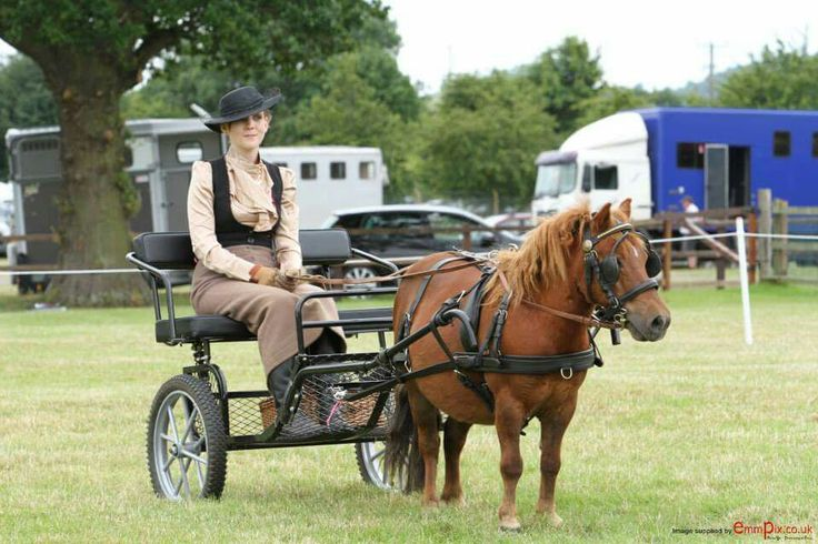 Miniature shetland pony driving show trap cart horse chestnut