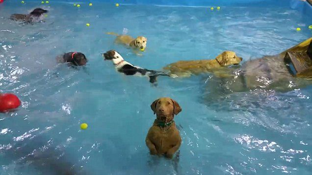 A dog at Happy Tails Resort refuses to swim while his pooch pals enjoy the pool.
