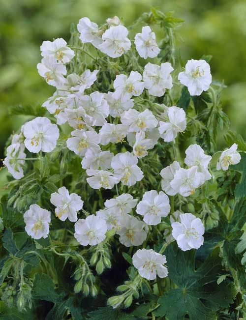 Geranium macrorrhizum 'Mount Olympus White' AGM  syn Geranium mac. 'White Ness'. An easy, hardy, evergreen Geranium. Very good in dry shade. Forms good ground cover with fragrant foliage. Pure white flowers over most of the Summer starting in late May. This is a pure albino with no hint of pink in the calyx or flower.