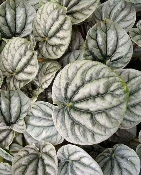 58 besten peperomia bilder auf pinterest g rtnern for Dekor von zierpflanzen
