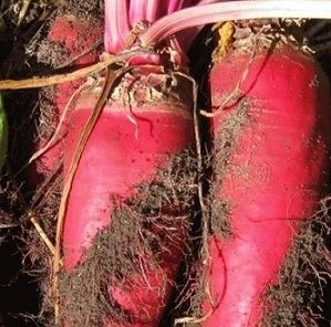 Growing winter feed for chickens, both the greens and the roots.    Heirloom Red Mammoth Fodder Beet Seeds - MyPatriotSupply.com