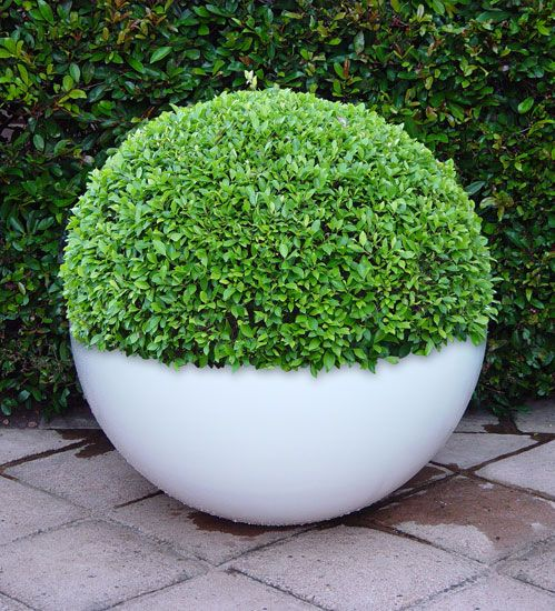 Buxus is easy to cut into a different forms. This is one sample how to fit it nicely into a pot.  This is Obbligato Plant Pots - bubble pot