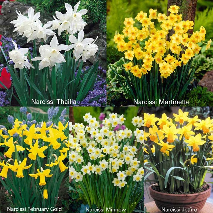 Buy J Parker Dwarf Narcissi |Free UK Delivery from Mail Shop