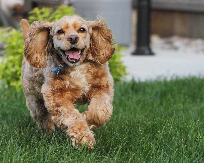 Cocker Spaniel Dog Names Dogtime Top Dog Breeds Spaniel Puppies Cocker Spaniel Puppies