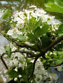 De meidoorn bloeit nu overal volop. Je kunt het zien, maar ook ruiken! Wat een bedwelmende, zoete geur.   Het is een hele bijzondere ...
