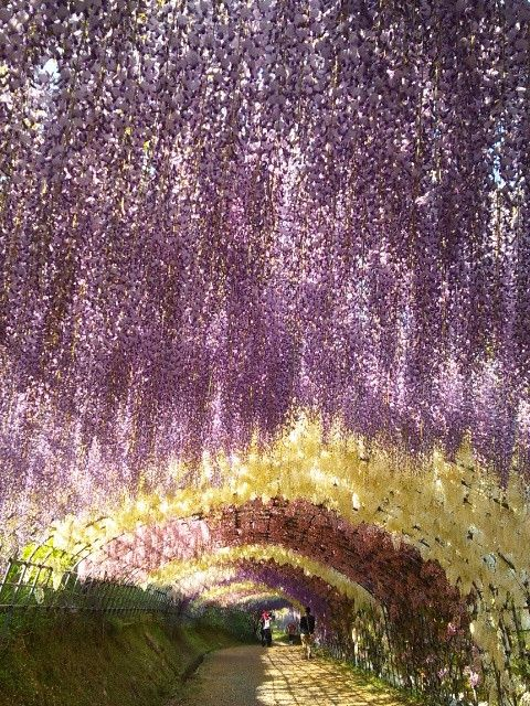 25 best images about bucket list on pinterest wisteria Wisteria flower tunnel path in japan