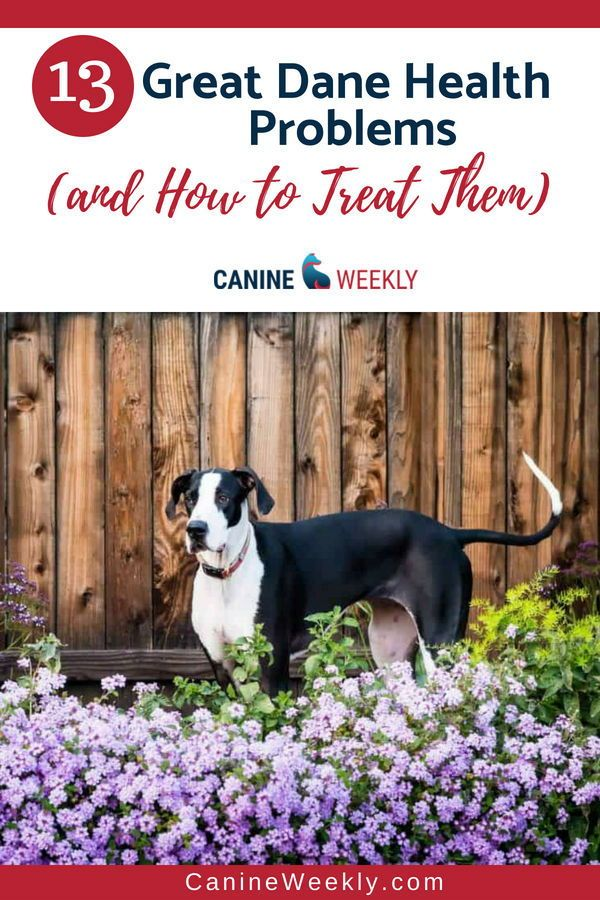 13 Great Dane Health Problems And How To Treat Them Great Dane