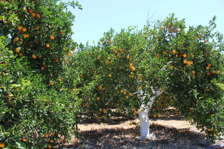 Orange Trees at Greece.. Made by CMS