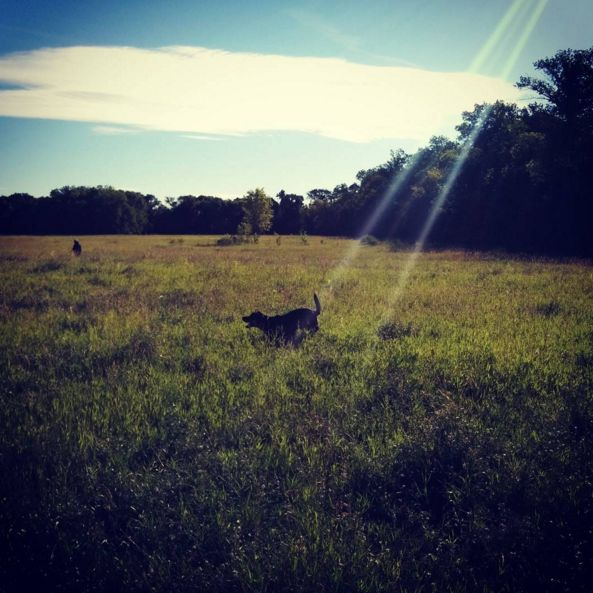 Running around Maple Grove Dog Park! - Winnipeg, MB - Angus Off-Leash #dogs #puppies #cutedogs #dogparks #winnipeg #manitoba #angusoffleash