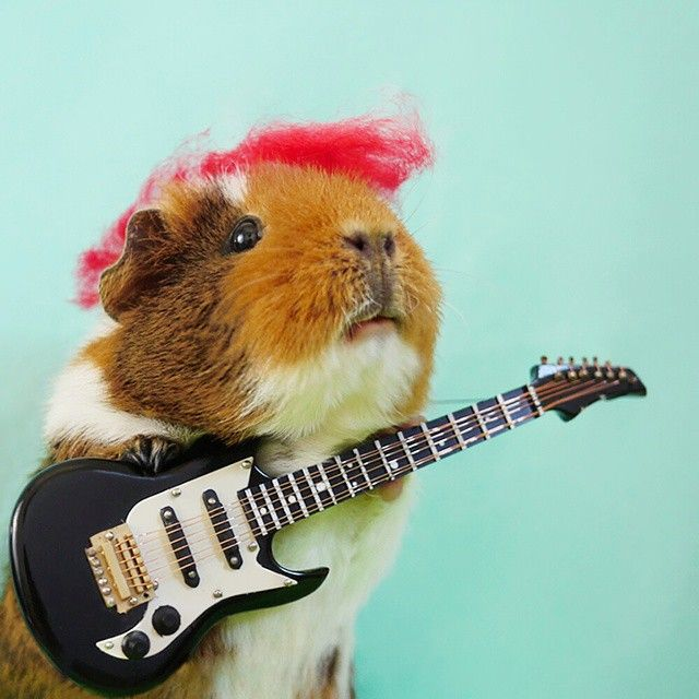 """Wock on!! Happy birthday to """"Aunt Jennifer"""", the best baby human sister in the world! -  Head over to @fuzzyinstapigs hear the AUDIO VERSION of Fuzzberta' guitar solo  -  #guitar #guitarhero #rockstar #guineapigs #guineapig #cavy #モルモット #guineapigsof_ig #cute #dailycute #showcasing_pets #globalanimals #petlovingclub #feature_do2 #trb_creature_feature #pets_of_our_world #delight_pets #happy_pets #pawstruckcritters #amazing_picturez_animals"""