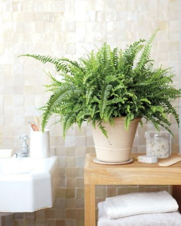 Boston Fern - bedroom - Said to act as a natural air humidifier, removes formaldahyde and is a general air purifier. Said to be among the best in air purifying houseplants.