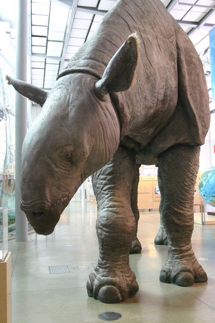 32 best images about Fossil:Paraceratherium(Genus ...