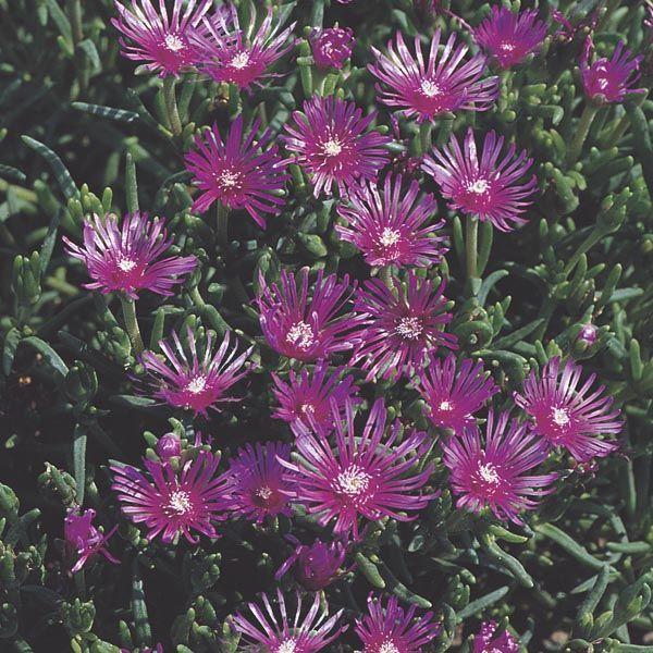 Cooper's Ice Plant (Delosperma cooperi) | My Garden Insider