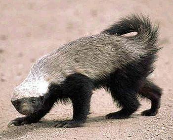 Honey Badger: a mustelid na-tive to AF/ Mid East/ IN sub-continent. Despite its name, it does not closely resemble other badger species: it is more closely related to the Martin subfamily. It is primarily a carnivorous species/ has few natural predators due to its thick skin & ferocious defensive abilities