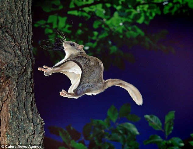 Incredible images show flying squirrel leaping 150-feet through ...