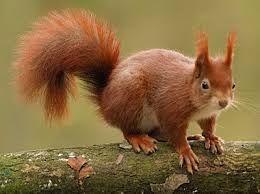 Afbeeldingsresultaat voor eekhoorn