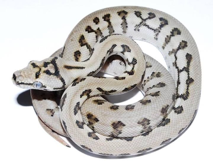 Gorgeous carpet python morph from Alpert's Exotics.
