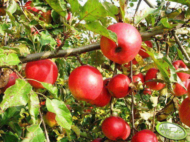 Jabłoń Jonatan  #wiemcojem #owoce #jabłka #jabłko #jabłoń #apple