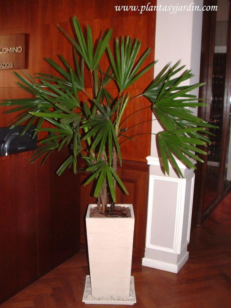 Palmeras para cultivar en interiores raphis exelsa en maceta piramidal con chips en la - Plantas de interior palmeras ...